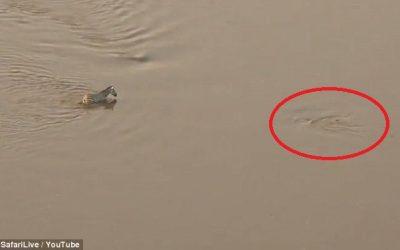 หนีจระเข้ปะสิงโต!! วิถีแห่งธรรมชาติ เมื่อเจ้าม้าลายหนีรอดไอเข้ในน้ำ แต่เจอพี่สิงโตดักหน้า